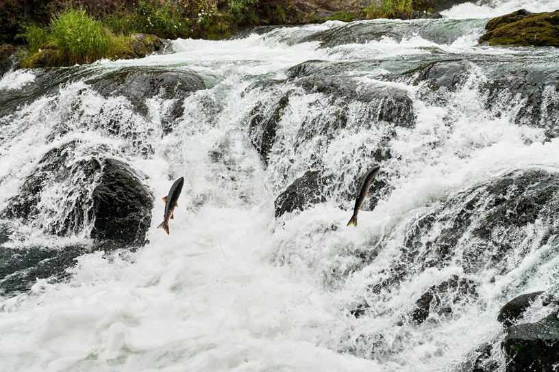 Salmon run at the Russian River Falls.